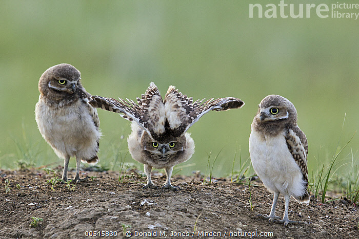 Burrowing Owl (Athene cunicularia) owlets at burrow with one stretching, Montana, Athene cunicularia, Baby, Burrowing Owl, Burrow, Chick, Color Image, Day, Defensive Posture, Displaying, Front View, Full Length, Horizontal, Looking at Camera, Montana, Nobody, Outdoors, Owlet, Photography, Raptor, Side View, Spreading Wings, Stretching, Three Animals, Togetherness, Wildlife,Burrowing Owl,Montana, USA, Donald M. Jones
