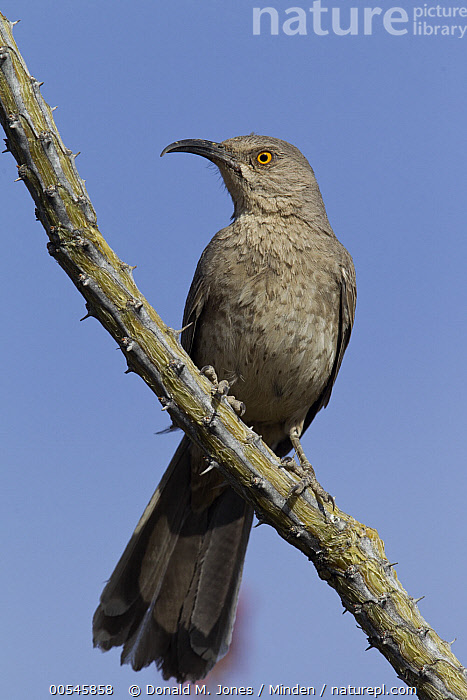 Curve-billed Thrasher (Toxostoma curvirostre), Arizona  ,  Adult, Arizona, Color Image, Curve-billed Thrasher, Day, Front View, Full Length, Low Angle View, Nobody, One Animal, Outdoors, Photography, Songbird, Toxostoma curvirostre, Vertical, Wildlife,Curve-billed Thrasher,Arizona, USA,Adult, Arizona, Color Image, Curve-billed Thrasher, Day, Front View, Full Length, Low Angle View, Nobody, One Animal, Outdoors, Photography, Songbird, Toxostoma curvirostre, Vertical, Wildlife  ,  Donald M. Jones