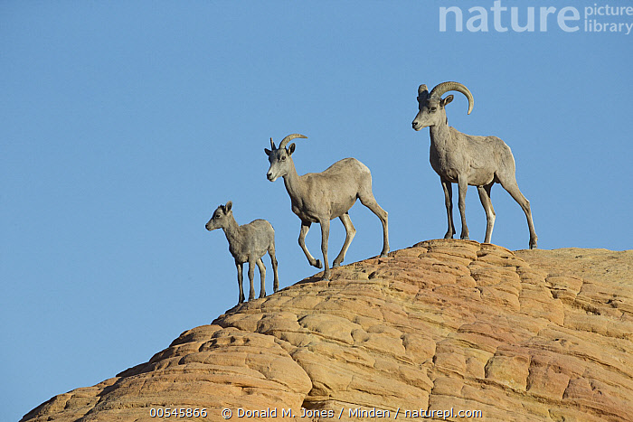 Desert Bighorn Sheep (Ovis canadensis nelsoni) family, North America, Adult, Baby, Color Image, Day, Desert Bighorn Sheep, Family, Father, Female, Full Length, Horizontal, Lamb, Male, Mother, Nobody, North America, Outdoors, Ovis canadensis nelsoni, Parent, Photography, Side View, Three Animals, Togetherness, Wildlife, Young,Desert Bighorn Sheep,North America, Donald M. Jones