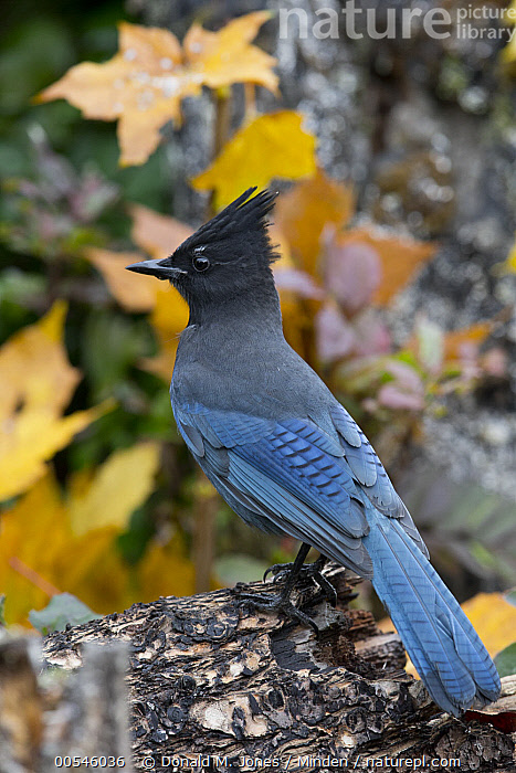 Steller's Jay (Cyanocitta stelleri), Montana  ,  Adult, Blue, Color Image, Cyanocitta stelleri, Day, Full Length, Montana, Nobody, One Animal, Outdoors, Photography, Side View, Songbird, Steller's Jay, Vertical, Wildlife,Steller's Jay,Montana, USA,Adult, Blue, Color Image, Cyanocitta stelleri, Day, Full Length, Montana, Nobody, One Animal, Outdoors, Photography, Side View, Songbird, Steller's Jay, Vertical, Wildlife  ,  Donald M. Jones