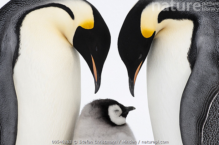 Emperor Penguin (Aptenodytes forsteri) parents with chick, Queen Maud Land, Antarctica, Adult, Affection, Antarctica, Aptenodytes forsteri, Baby, Chick, Color Image, Day, Downy, Emperor Penguin, Family, Father, Female, Head and Shoulders, Horizontal, Love, Male, Mother, Nobody, Outdoors, Parent, Photography, Queen Maud Land, Seabird, Side View, Snow, Tenderness, Three Animals, Togetherness, Waist Up, Wildlife,Emperor Penguin,Antarctica, Stefan Christmann