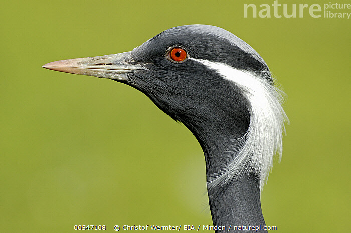 Demoiselle Crane (Anthropoides virgo), Germany, Adult, Anthropoides virgo, Captive, Color Image, Day, Demoiselle Crane, Germany, Head, Horizontal, Nobody, One Animal, Outdoors, Photography, Portrait, Profile, Side View, Wildlife,Demoiselle Crane,Germany, Christof Wermter