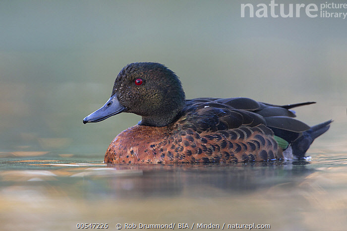 Chestnut Teal (Anas castanea) male, Victoria, Australia  ,  Adult, Anas castanea, Australia, Chestnut Teal, Color Image, Day, Drake, Full Length, Horizontal, Male, Nobody, One Animal, Outdoors, Photography, Side View, Victoria, Waterfowl, Wildlife,Chestnut Teal,Australia,Adult, Anas castanea, Australia, Chestnut Teal, Color Image, Day, Drake, Full Length, Horizontal, Male, Nobody, One Animal, Outdoors, Photography, Side View, Victoria, Waterfowl, Wildlife  ,  Rob Drummond