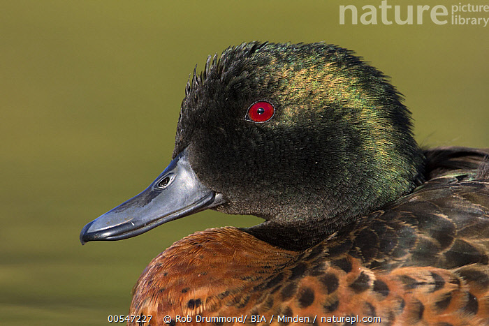 Chestnut Teal (Anas castanea) male, Victoria, Australia  ,  Adult, Anas castanea, Australia, Chestnut Teal, Color Image, Day, Drake, Head and Shoulders, Horizontal, Male, Nobody, One Animal, Outdoors, Photography, Portrait, Profile, Side View, Victoria, Waterfowl, Wildlife,Chestnut Teal,Australia,Adult, Anas castanea, Australia, Chestnut Teal, Color Image, Day, Drake, Head and Shoulders, Horizontal, Male, Nobody, One Animal, Outdoors, Photography, Portrait, Profile, Side View, Victoria, Waterfowl, Wildlife  ,  Rob Drummond