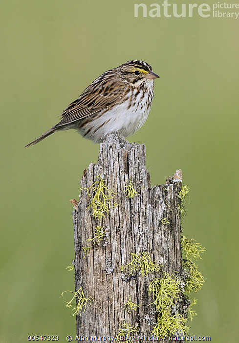 Savannah Sparrow (Passerculus sandwichensis), British Columbia, Canada  ,  Adult, British Columbia, Canada, Color Image, Day, Full Length, Nobody, One Animal, Outdoors, Passerculus sandwichensis, Photography, Savannah Sparrow, Side View, Songbird, Vertical, Wildlife,Savannah Sparrow,Canada,Adult, British Columbia, Canada, Color Image, Day, Full Length, Nobody, One Animal, Outdoors, Passerculus sandwichensis, Photography, Savannah Sparrow, Side View, Songbird, Vertical, Wildlife  ,  Alan Murphy