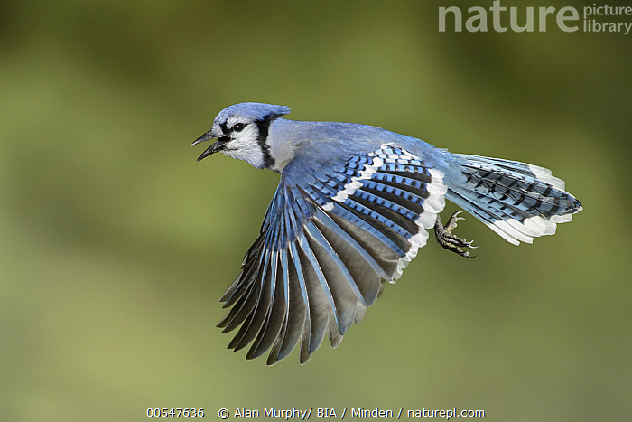 Blue Jay (Cyanocitta cristata) calling while flying, Texas, Adult, Blue Jay, Calling, Color Image, Cyanocitta cristata, Day, Flying, Full Length, Horizontal, Nobody, One Animal, Open Mouth, Outdoors, Photography, Side View, Songbird, Texas, Wildlife,Blue Jay,Texas, USA, Alan Murphy