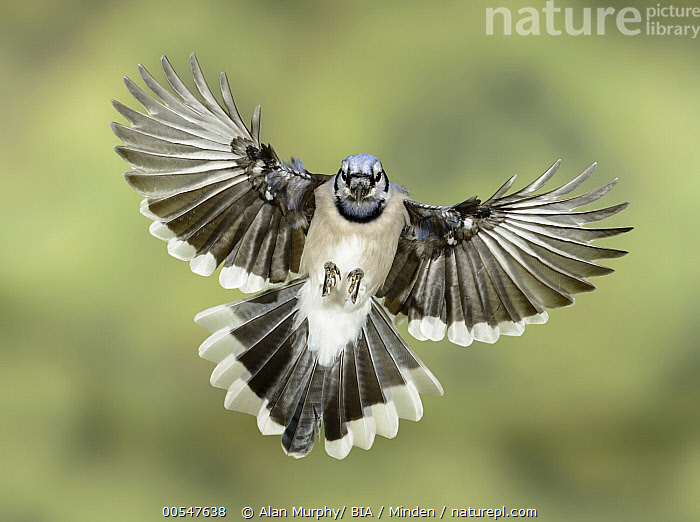 Blue Jay (Cyanocitta cristata) flying, Texas, Adult, Approaching, Blue Jay, Color Image, Cyanocitta cristata, Day, Flying, Front View, Full Length, Horizontal, Looking at Camera, Nobody, One Animal, Outdoors, Photography, Songbird, Texas, Wildlife,Blue Jay,Texas, USA, Alan Murphy