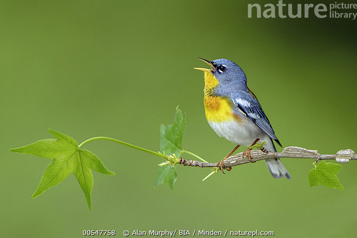 Northern Parula (Setophaga americana) male calling, Texas  ,  Adult, Calling, Color Image, Day, Full Length, Horizontal, Male, Nobody, Northern Parula, One Animal, Open Mouth, Outdoors, Photography, Setophaga americana, Side View, Songbird, Texas, Wildlife,Northern Parula,Texas, USA,Adult, Calling, Color Image, Day, Full Length, Horizontal, Male, Nobody, Northern Parula, One Animal, Open Mouth, Outdoors, Photography, Setophaga americana, Side View, Songbird, Texas, Wildlife  ,  Alan Murphy