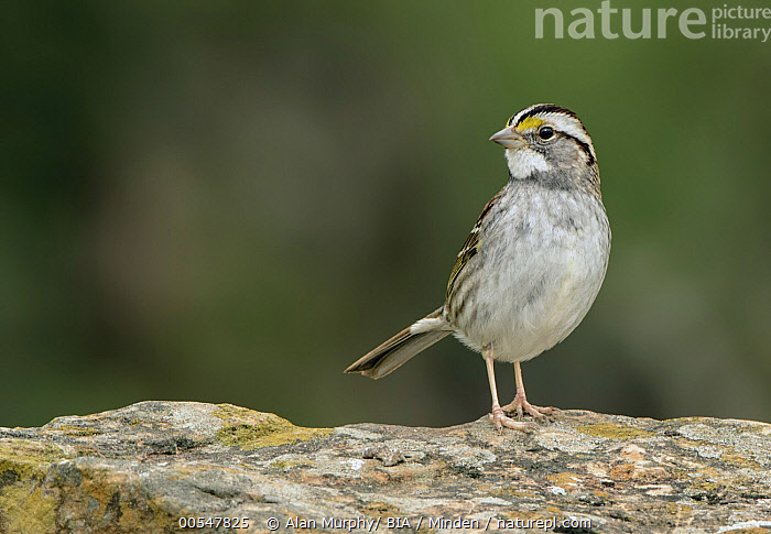 White-throated Sparrow (Zonotrichia albicollis), Texas  ,  Adult, Color Image, Day, Full Length, Horizontal, Nobody, One Animal, Outdoors, Photography, Side View, Songbird, Texas, White-throated Sparrow, Wildlife, Zonotrichia albicollis,White-throated Sparrow,Texas, USA,Adult, Color Image, Day, Full Length, Horizontal, Nobody, One Animal, Outdoors, Photography, Side View, Songbird, Texas, White-throated Sparrow, Wildlife, Zonotrichia albicollis  ,  Alan Murphy