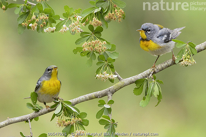 Northern Parula (Setophaga americana) pair, Texas  ,  Adult, Color Image, Day, Facing, Front View, Full Length, Horizontal, Nobody, Northern Parula, Outdoors, Photography, Setophaga americana, Side View, Songbird, Texas, Togetherness, Two Animals, Wildlife,Northern Parula,Texas, USA,Adult, Color Image, Day, Facing, Front View, Full Length, Horizontal, Nobody, Northern Parula, Outdoors, Photography, Setophaga americana, Side View, Songbird, Texas, Togetherness, Two Animals, Wildlife  ,  Alan Murphy