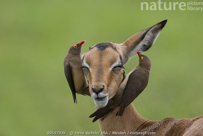 Nature Picture Library Red-billed Oxpecker (Buphagus erythrorhynchus) pair  searching for parasites on Impala, Mpumalanga, South Africa - Heini Wehrle
