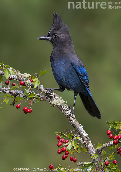 Steller's Jay (Cyanocitta stelleri), British Columbia, Canada, Adult, British Columbia, Canada, Color Image, Cyanocitta stelleri, Day, Full Length, Nobody, One Animal, Outdoors, Photography, Side View, Songbird, Steller's Jay, Vertical, Wildlife,Steller's Jay,Canada, Tim Zurowski