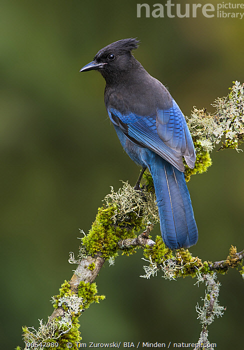 Steller's Jay (Cyanocitta stelleri), British Columbia, Canada  ,  Adult, British Columbia, Canada, Color Image, Cyanocitta stelleri, Day, Full Length, Nobody, One Animal, Outdoors, Photography, Side View, Songbird, Steller's Jay, Vertical, Wildlife,Steller's Jay,Canada,Adult, British Columbia, Canada, Color Image, Cyanocitta stelleri, Day, Full Length, Nobody, One Animal, Outdoors, Photography, Side View, Songbird, Steller's Jay, Vertical, Wildlife  ,  Tim Zurowski
