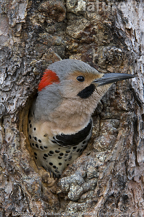 Northern Flicker (Colaptes auratus) in nest cavity, Alaska, Adult, Alaska, Colaptes auratus, Color Image, Day, Head and Shoulders, Nest Cavity, Nobody, Northern Flicker, One Animal, Outdoors, Photography, Portrait, Profile, Side View, Vertical, Wildlife, Woodpecker,Northern Flicker,Alaska, USA, Michael Quinton