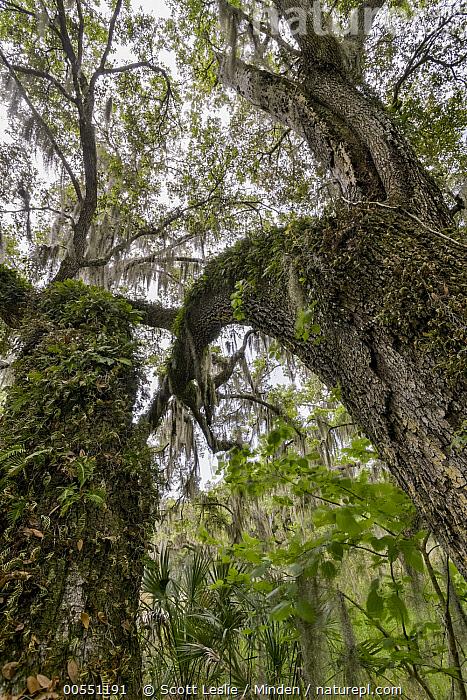 Southern Live Oak (Quercus virginiana) trees with Spanish Moss (Tillandsia usneoides), Florida  ,  Color Image, Day, Florida, Looking Up, Low Angle View, Moody, Nobody, Outdoors, Parasite, Photography, Quercus virginiana, Southern Live Oak, Spanish Moss, Tillandsia usneoides, Tree, Vertical,Southern Live Oak,Spanish Moss,Tillandsia usneoides,Florida, USA,Color Image, Day, Florida, Looking Up, Low Angle View, Moody, Nobody, Outdoors, Parasite, Photography, Quercus virginiana, Southern Live Oak, Spanish Moss, Tillandsia usneoides, Tree, Vertical  ,  Scott Leslie