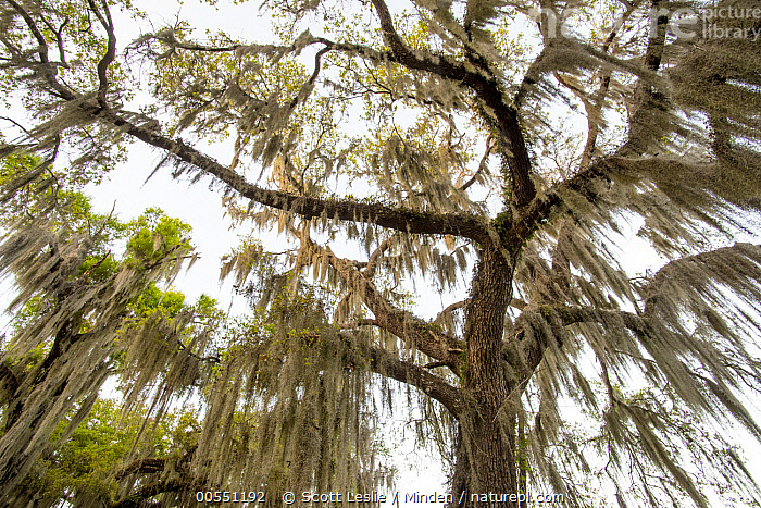 Southern Live Oak (Quercus virginiana) with Spanish Moss (Tillandsia usneoides), Florida  ,  Color Image, Day, Florida, Hanging, Horizontal, Looking Up, Low Angle View, Moody, Nobody, Outdoors, Overhead, Parasite, Photography, Quercus virginiana, Southern Live Oak, Spanish Moss, Tillandsia usneoides, Tree,Southern Live Oak,Spanish Moss,Tillandsia usneoides,Florida, USA  ,  Scott Leslie