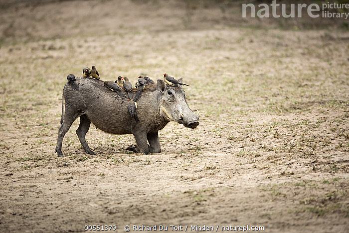Red-billed Oxpecker (Buphagus erythrorhynchus) group on Warthog (Phacochoerus africanus), Kruger National Park, South Africa  ,  Adult, Buphagus erythrorhynchus, Color Image, Day, Full Length, Horizontal, Kruger National Park, Large Group of Animals, Mutualism, Nobody, Outdoors, Phacochoerus africanus, Photography, Red-billed Oxpecker, Side View, Songbird, South Africa, Symbiosis, Warthog, Wildlife,Red-billed Oxpecker,Warthog,Phacochoerus africanus,South Africa,Adult, Buphagus erythrorhynchus, Color Image, Day, Full Length, Horizontal, Kruger National Park, Large Group of Animals, Mutualism, Nobody, Outdoors, Phacochoerus africanus, Photography, Red-billed Oxpecker, Side View, Songbird, South Africa, Symbiosis, Warthog, Wildlife  ,  Richard Du Toit