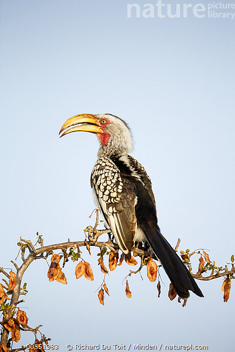 Eastern Yellow-billed Hornbill (Tockus flavirostris), Kruger National Park, South Africa  ,  Adult, Color Image, Day, Eastern Yellow-billed Hornbill, Full Length, Kruger National Park, Nobody, One Animal, Outdoors, Photography, Side View, South Africa, Tockus flavirostris, Vertical, Wildlife,Eastern Yellow-billed Hornbill,South Africa,Adult, Color Image, Day, Eastern Yellow-billed Hornbill, Full Length, Kruger National Park, Nobody, One Animal, Outdoors, Photography, Side View, South Africa, Tockus flavirostris, Vertical, Wildlife  ,  Richard Du Toit