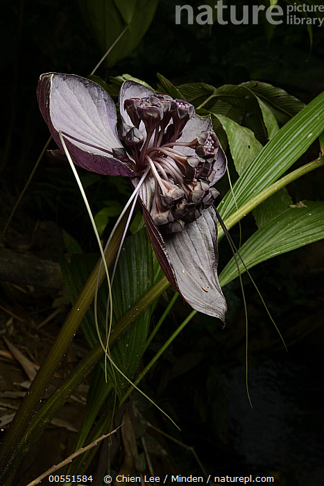Bornean Bat Flower (Tacca borneensis) flowers, which generate their own heat to aid in pollination, Kasai, Batang Ai National Park, Malaysia, Batang Ai National Park, Bornean Bat Flower, Color Image, Day, Flower, Kasai, Malaysia, Nobody, Outdoors, Photography, Tacca borneensis, Thermogenic, Vertical,Bornean Bat Flower,Malaysia, Chien Lee