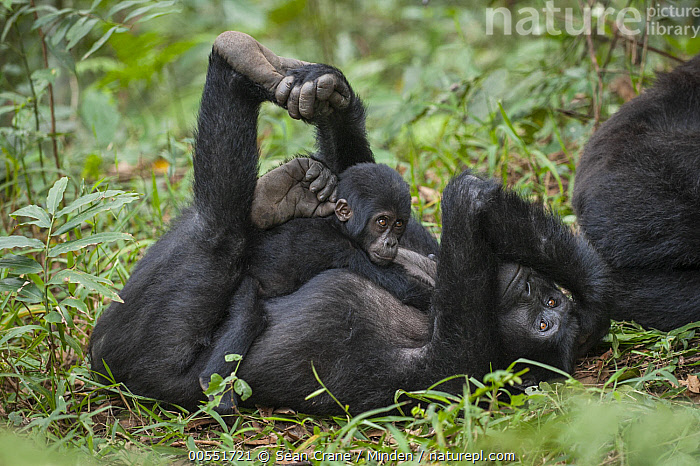 Mountain Gorilla (Gorilla gorilla beringei) mother and young, Bwindi Impenetrable National Park, Uganda, Adult, Baby, Bwindi Impenetrable National Park, Color Image, Critically Endangered Species, Cuddling, Day, Endangered Species, Female, Full Length, Gorilla gorilla beringei, Horizontal, Looking at Camera, Mother, Mountain Gorilla, Nobody, Outdoors, Parent, Photography, Side View, Stretching, Three Animals, Uganda, Wildlife, Young,Mountain Gorilla,Uganda, Sean Crane