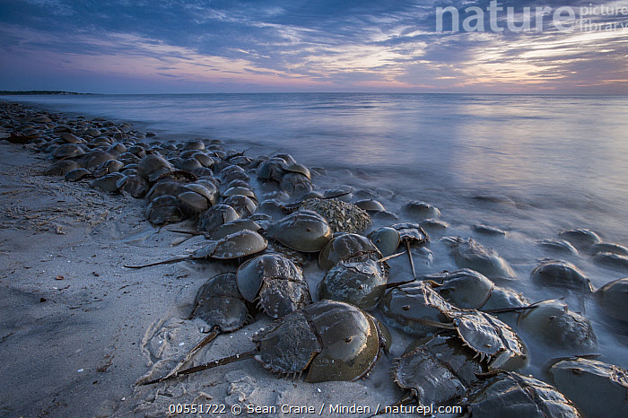 Horseshoe Crab (Limulus polyphemus) group spawning at high tide at sunset, Cape May, New Jersey, Adult, Animal in Habitat, Beach, Cape May, Coast, Color Image, Day, Full Length, High Tide, Horizontal, Horseshoe Crab, Large Group of Animals, Limulus polyphemus, New Jersey, Nobody, Outdoors, Photography, Reproducing, Side View, Spawning, Sunset, Wildlife,Horseshoe Crab,New Jersey, USA, Sean Crane