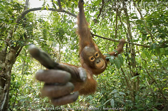 Orangutan (Pongo pygmaeus) juvenile investigating camera, Tanjung Puting National Park, Borneo, Indonesia  ,  Borneo, Color Image, Curiosity, Curious, Day, Endangered Species, Finger, Front View, Full Length, Hanging, Horizontal, Indonesia, Investigating, Juvenile, Looking at Camera, Low Angle View, Nobody, One Animal, Orangutan, Outdoors, Photography, Pointing, Pongo pygmaeus, Reaching, Selfie, Tanjung Puting National Park, Touching, Wildlife,Orangutan,Indonesia  ,  Sean Crane
