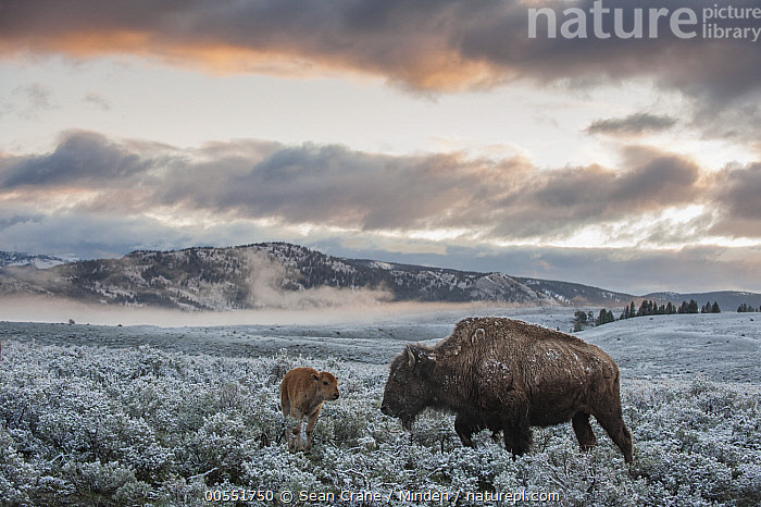 American Bison (Bison bison) mother and calf at sunrise, Yellowstone National Park, Wyoming  ,  Adult, American Bison, Animal in Habitat, Animal in Landscape, Baby, Bison bison, Calf, Color Image, Day, Female, Frost, Full Length, Horizontal, Meadow, Mother, Nobody, Outdoors, Parent, Photography, Shrubland, Side View, Sunrise, Two Animals, Wildlife, Wyoming, Yellowstone National Park,American Bison, , ,Wyoming, USA  ,  Sean Crane