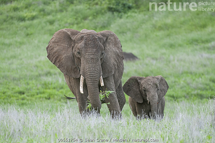 African Elephant (Loxodonta africana) mother and calf grazing, Lewa Wildlife Conservancy, Kenya  ,  Adult, African Elephant, Baby, Calf, Color Image, Day, Female, Front View, Full Length, Grazing, Horizontal, Kenya, Lewa Wildlife Conservancy, Loxodonta africana, Mother, Nobody, Outdoors, Parent, Photography, Threatened Species, Togetherness, Two Animals, Vulnerable Species, Wildlife,African Elephant,Kenya  ,  Sean Crane