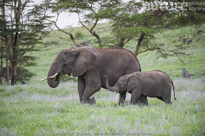 African Elephant (Loxodonta africana) mother and calf grazing, Lewa Wildlife Conservancy, Kenya  ,  Adult, African Elephant, Baby, Calf, Color Image, Day, Female, Full Length, Grazing, Horizontal, Kenya, Lewa Wildlife Conservancy, Loxodonta africana, Mother, Nobody, Outdoors, Parent, Photography, Side View, Threatened Species, Togetherness, Two Animals, Vulnerable Species, Wildlife,African Elephant,Kenya  ,  Sean Crane