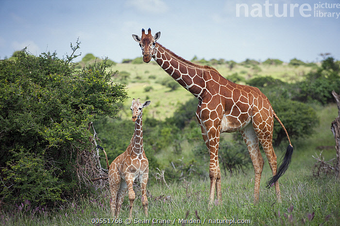 Reticulated Giraffe (Giraffa reticulata) mother and calf, Lewa Wildlife Conservancy, Kenya  ,  Adult, Baby, Calf, Color Image, Day, Female, Full Length, Giraffa reticulata, Horizontal, Kenya, Lewa Wildlife Conservancy, Looking at Camera, Mother, Nobody, Outdoors, Parent, Photography, Reticulated Giraffe, Side View, Threatened Species, Togetherness, Two Animals, Vulnerable Species, Wildlife,Reticulated Giraffe,Kenya  ,  Sean Crane