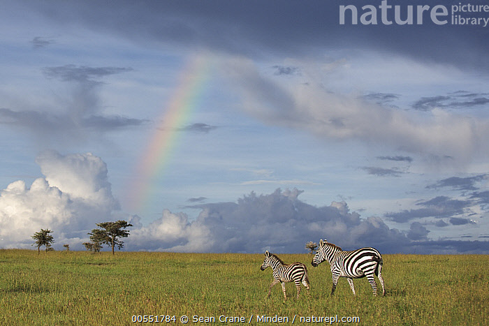 Zebra (Equus quagga) mother and foal near rainbow, Ol Pejeta Conservancy, Laikipia, Kenya  ,  Adult, Animal in Habitat, Animal in Landscape, Baby, Color Image, Day, Equus quagga, Female, Foal, Full Length, Grassland, Horizontal, Kenya, Laikipia, Mother, Nobody, Ol Pejeta Conservancy, Outdoors, Parent, Photography, Rainbow, Savanna, Side View, Togetherness, Two Animals, Wildlife, Zebra,Zebra,Kenya  ,  Sean Crane