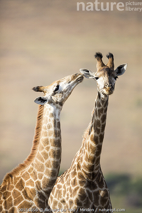 South African Giraffe (Giraffa giraffa giraffa) pair courting, KwaZulu-Natal, South Africa, Adult, Affection, Color Image, Courting, Day, Female, Front View, Giraffe, Giraffa giraffa giraffa, Head and Shoulders, Interacting, KwaZulu-Natal, Looking at Camera, Male, Nobody, Outdoors, Photography, Side View, Smelling, South Africa, South African Giraffe, Tenderness, Togetherness, Two Animals, Vertical, Waist Up, Wildlife,South African Giraffe,South Africa, Richard Du Toit