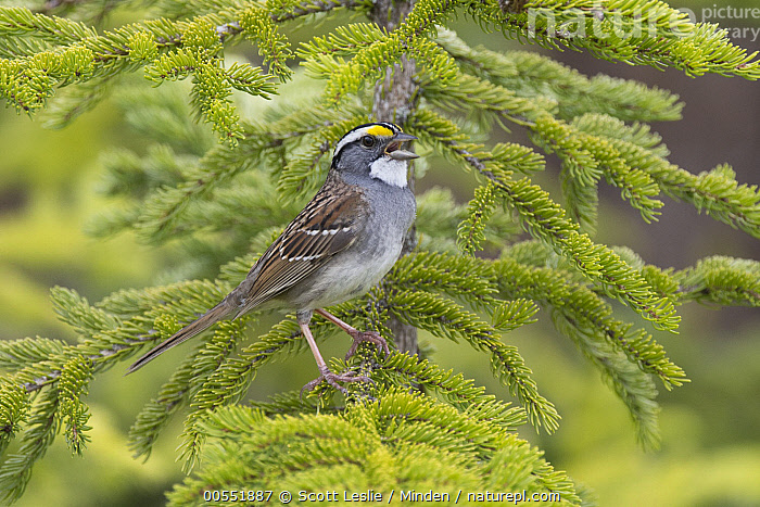White-throated Sparrow (Zonotrichia albicollis) on conifer calling, Maine  ,  Adult, Calling, Color Image, Day, Full Length, Horizontal, Maine, Nobody, One Animal, Open Mouth, Outdoors, Photography, Side View, Songbird, White-throated Sparrow, Wildlife, Zonotrichia albicollis,White-throated Sparrow,Maine, USA  ,  Scott Leslie
