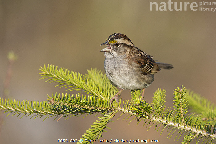 White-throated Sparrow (Zonotrichia albicollis) female calling, Maine  ,  Adult, Calling, Color Image, Day, Female, Full Length, Horizontal, Maine, Nobody, One Animal, Open Mouth, Outdoors, Photography, Side View, Songbird, White-throated Sparrow, Wildlife, Zonotrichia albicollis,White-throated Sparrow,Maine, USA  ,  Scott Leslie