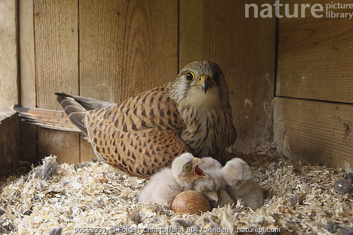 Eurasian Kestrel (Falco tinnunculus) female with chicks in nest box, Lower Saxony, Germany  ,  Adult, Baby, Chick, Color Image, Day, Egg, Eurasian Kestrel, Falco tinnunculus, Female, Five Animals, Full Length, Germany, Horizontal, Looking at Camera, Lower Saxony, Mother, Nest Box, Nobody, Outdoors, Parent, Photography, Raptor, Side View, Wildlife,Eurasian Kestrel,Germany  ,  Folkert Christoffers, BIA