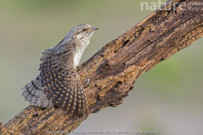 Eurasian Wryneck (Jynx torquilla) stretching, Saxony-Anhalt, Germany  ,  Adult, Color Image, Day, Eurasian Wryneck, Full Length, Germany, Horizontal, Jynx torquilla, Nobody, One Animal, Outdoors, Photography, Saxony-Anhalt, Side View, Spreading Wings, Stretching, Wildlife,Eurasian Wryneck,Germany  ,  Thomas Hinsche, BIA