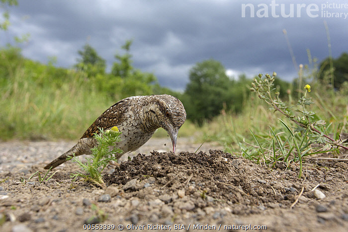 Eurasian Wryneck (Jynx torquilla) foraging, Saxony, Germany  ,  Adult, Color Image, Day, Eurasian Wryneck, Foraging, Full Length, Germany, Horizontal, Jynx torquilla, Nobody, One Animal, Outdoors, Photography, Saxony, Side View, Wide-angle Lens, Wildlife,Eurasian Wryneck,Germany  ,  Oliver Richter, BIA
