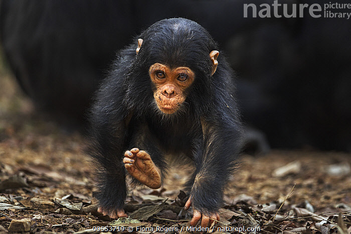 Eastern Chimpanzee (Pan troglodytes schweinfurthii) infant male, one year old, running, Gombe National Park, Tanzania, Approaching, Baby, Color Image, Day, Eastern Chimpanzee, Endangered Species, Front View, Full Length, Gombe National Park, Horizontal, Infant, Knuckle Walking, Male, Nobody, One Animal, Outdoors, Pan troglodytes schweinfurthii, Photography, Running, Tanzania, Wildlife, Young,Eastern Chimpanzee,Tanzania, Fiona Rogers