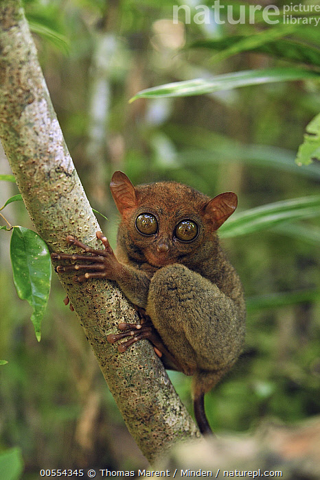 Philippine Tarsier (Tarsius syrichta), Philippine Tarsier and Wildlife Sanctuary, Bohol Island, Philippines, Adult, Arboreal, Bohol Island, Color Image, Day, Full Length, Looking at Camera, Monkey, Nobody, One Animal, Outdoors, Philippine Tarsier, Philippines, Philippine Tarsier and Wildlife Sanctuary, Photography, Side View, Tarsius syrichta, Vertical, Wildlife,Philippine Tarsier,Philippines, Thomas Marent