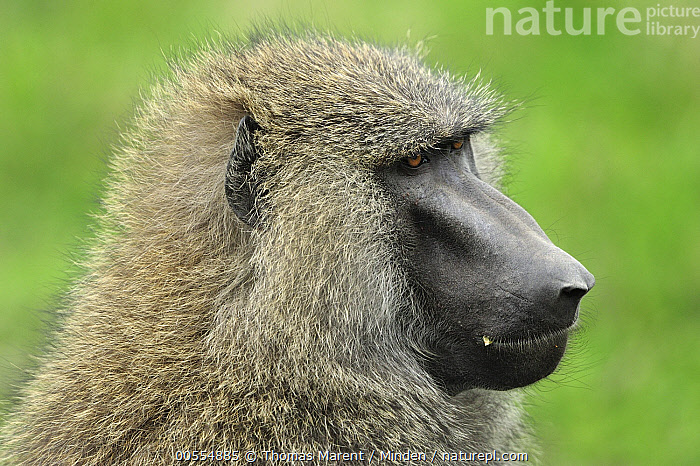 Olive Baboon (Papio anubis), Sweetwaters Game Reserve, Kenya  ,  Adult, Close Up, Color Image, Day, Head and Shoulders, Horizontal, Kenya, Monkey, Nobody, Olive Baboon, One Animal, Outdoors, Papio anubis, Photography, Portrait, Profile, Side View, Sweetwaters Game Reserve, Wildlife,Olive Baboon,Kenya  ,  Thomas Marent