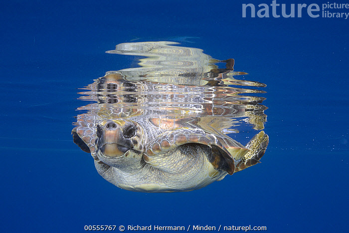 Loggerhead Sea Turtle (Caretta caretta) at water surface, California  ,  California, Caretta caretta, Color Image, Day, Endangered Species, Front View, Full Length, Horizontal, Loggerhead Sea Turtle, Looking at Camera, Nobody, One Animal, Outdoors, Photography, Reflection, Surface, Underwater, Wildlife,Loggerhead Sea Turtle,California, USA  ,  Richard Herrmann