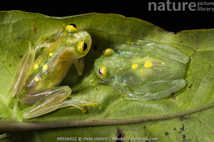 Glass Frog (Hyalinobatrachium aureoguttatum) pair, native to South America  ,  Adult, Captive, Color Image, Day, Full Length, Glass Frog, High Angle View, Horizontal, Hyalinobatrachium aureoguttatum, Nobody, Outdoors, Photography, Side View, Two Animals, Wildlife,Glass Frog  ,  Pete Oxford