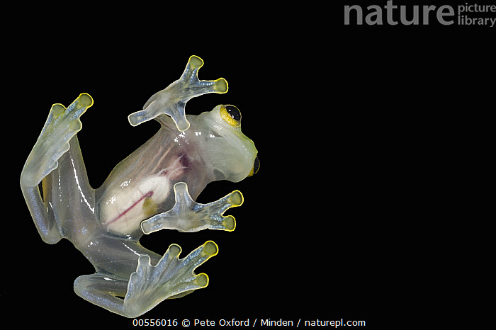 Glass Frog (Hyalinobatrachium aureoguttatum) underside showing internal organs, native to South America  ,  Adult, Captive, Color Image, Cut Out, Day, Full Length, Glass Frog, Horizontal, Hyalinobatrachium aureoguttatum, Indoors, Intestine, Nobody, One Animal, Photography, Studio, Transparent, Underside, Wildlife,Glass Frog  ,  Pete Oxford
