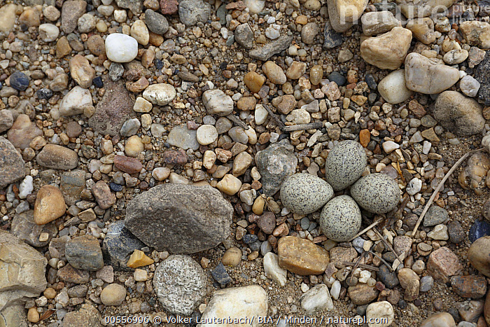 Little Ringed Plover (Charadrius dubius) eggs camouflaged in pebble nest, Saxony-Anhalt, Germany  ,  Adult, Camouflage, Charadrius dubius, Color Image, Day, Egg, Four Objects, Full Length, Germany, Horizontal, Little Ringed Plover, Nature Pattern, Nest, Nobody, Outdoors, Pebble, Photography, Saxony-Anhalt, Shorebird, Side View, Top View, Wildlife,Little Ringed Plover,Germany  ,  Volker Lautenbach/ BIA