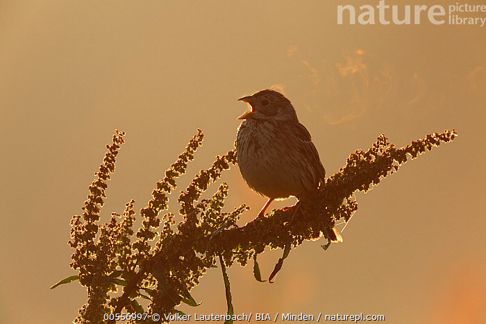 Corn Bunting (Emberiza calandra) calling, Saxony-Anhalt, Germany  ,  Adult, Backlighting, Breathing, Calling, Color Image, Corn Bunting, Day, Emberiza calandra, Full Length, Germany, Horizontal, Nobody, One Animal, Open Mouth, Outdoors, Photography, Saxony-Anhalt, Side View, Silhouette, Singing, Songbird, Wildlife,Corn Bunting,Germany  ,  Volker Lautenbach/ BIA