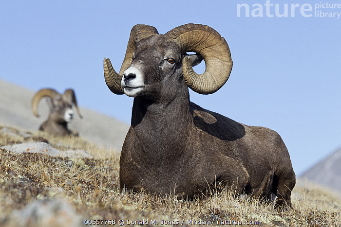 Bighorn Sheep (Ovis canadensis) rams, western Canada, Adult, Bighorn Sheep, Canada, Color Image, Day, Full Length, Horizontal, Male, Nobody, Outdoors, Ovis canadensis, Photography, Ram, Side View, Two Animals, Wildlife,Bighorn Sheep,Canada, Donald M. Jones