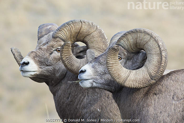 Bighorn Sheep (Ovis canadensis) rams, western Montana, Adult, Bighorn Sheep, Color Image, Day, Head and Shoulders, Horizontal, Male, Montana, Nobody, Outdoors, Ovis canadensis, Photography, Profile, Ram, Side View, Two Animals, Wildlife,Bighorn Sheep,Montana, USA, Donald M. Jones