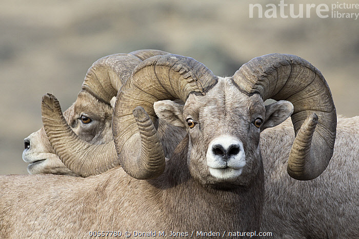 Bighorn Sheep (Ovis canadensis) rams, western Montana, Adult, Bighorn Sheep, Close Up, Color Image, Day, Horizontal, Looking at Camera, Male, Montana, Nobody, Outdoors, Ovis canadensis, Photography, Portrait, Ram, Side View, Two Animals, Waist Up, Wildlife,Bighorn Sheep,Montana, USA, Donald M. Jones