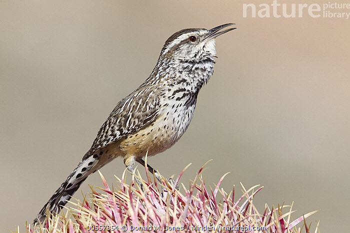 Cactus Wren (Campylorhynchus brunneicapillus) calling, southern Arizona  ,  Adult, Arizona, Cactus Wren, Calling, Campylorhynchus brunneicapillus, Color Image, Day, Full Length, Horizontal, Nobody, One Animal, Open Mouth, Outdoors, Photography, Side View, Singing, Songbird, Wildlife,Cactus Wren,Arizona, USA  ,  Donald M. Jones