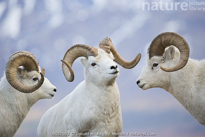 Dall's Sheep (Ovis dalli) rams posturing, central Alaska, Adult, Alaska, Close Up, Color Image, Competition, Dall's Sheep, Day, Facing, Head and Shoulders, Horizontal, Male, Nobody, Outdoors, Ovis dalli, Photography, Portrait, Posturing, Profile, Ram, Side View, Three Animals, Waist Up, Wildlife,Dall's Sheep,Alaska, USA, Donald M. Jones